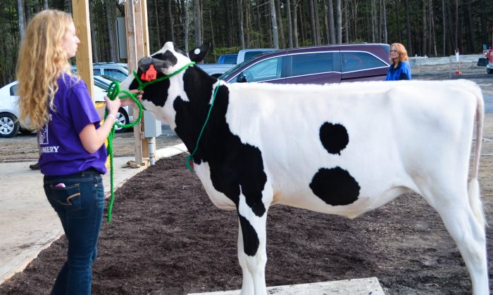 4H calf sale at the Education Center and 4H Park in Otisville on May 7, 2016. (Yvonne Marcotte/Epoch Times)