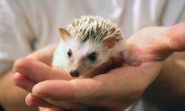 Tokyo's Latest Animal Café Trend: Hedgehogs