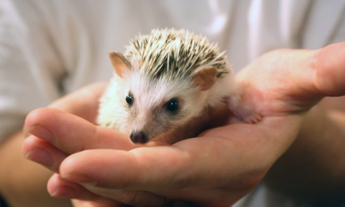 The first dedicated hedgehog café in Japan gives customers the chance to cuddle the prickly animals over a tea or coffee. (Jane Gray/Epoch Times)