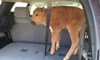 Yellowstone Park Service That Put Down Baby Bison: We Are Not 'Lazy, Uncaring, or Inexpert'
