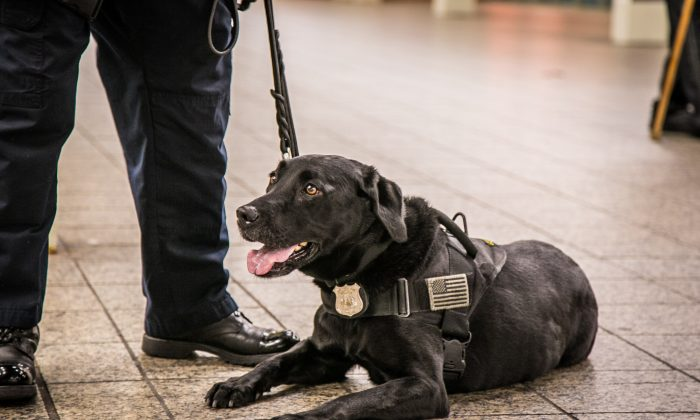 NYPD Officer and K9 partner, takes a break after patrolling the Times Square subway station in New York on May 17, 2016. (Benjamin Chasteen/Epoch Times)