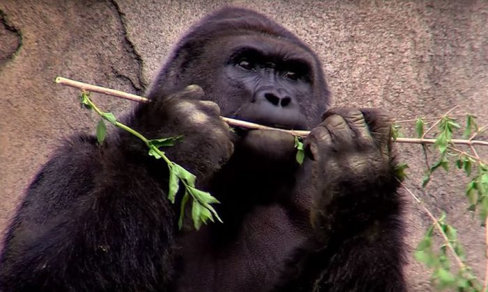 (Cincinnati Zoo & Botanical Garden / YouTube)