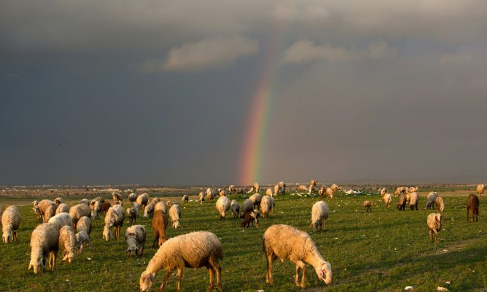 Sheep eat on a field in front of a rainbow near the southern Arab Israeli city of Rahat, on Feb. 10, 2016. (Menahem Kahana/AFP/Getty Images)