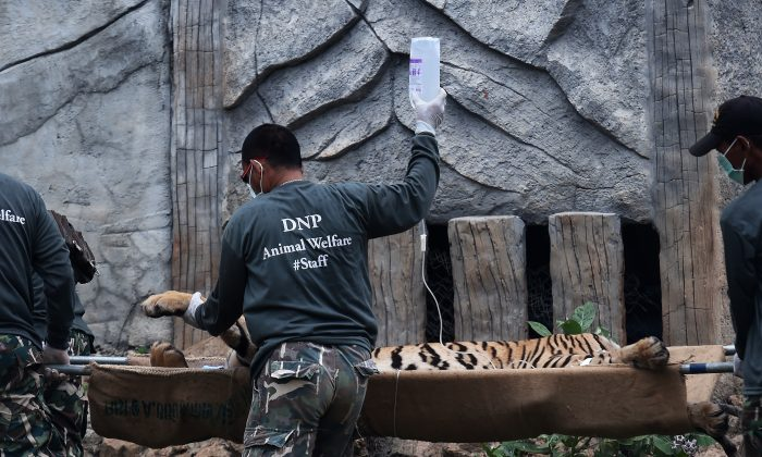 Thai wildlife officials carry a tiger on a stretcher as they remove it from an enclosure after it was anaesthetised at the Wat Pha Luang Ta Bua Tiger Temple in Kanchanaburi province, western Thailand on May 30, 2016.   Thai wildlife officials armed with a court order on May 30 resumed the treacherous process of moving tigers from a controversial temple which draws tourists as a petting zoo, but stands accused of selling off the big cats for slaughter. / AFP / CHRISTOPHE ARCHAMBAULT        (Photo credit should read CHRISTOPHE ARCHAMBAULT/AFP/Getty Images)