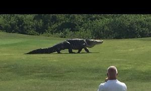 Watch This 'Monster' Alligator Casually Stroll Through a Golf Course