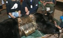 Bear Caged for Years for Bile Extraction Now Has a Good Life