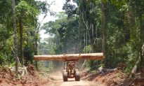 How Forests Recover Rapidly on Logging Roads in the Congo Basin