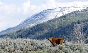Baby Bison Death Not Fault of Tourists Who Put It in Their Car, Yellowstone Photographer Says