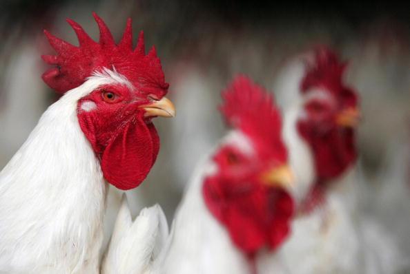 Chicken sit in a farm near Jamasa, Egypt.  (KHALED DESOUKI/AFP/Getty Images)