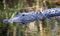 People Feeding Alligators Could Have Contributed to Attack on 2-Year-Old at Walt Disney Resort