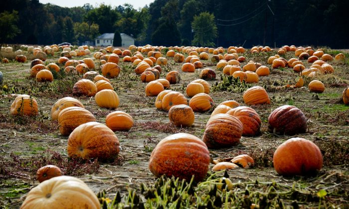 Pumpkins rest in a field at Councell Farms in Easton, Md., on Oct. 17, 2012. (Jim Watson/AFP/Getty Images)