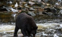 Visitor Attacked by Grizzly Bear in Alaska's Denali National Park