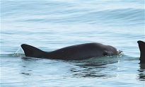 How the Navy Trained Dolphins to Help Save an Endangered Porpoise