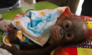 This Baby Orangutan Was Shot and Abandoned (Video)