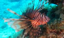 Lionfish Invading Mediterranean Sea Must Be Removed 'Preferably Tomorrow,' Says Expert