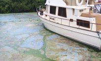 'Guacomole-Thick' Algae Is Ravaging Florida Waters
