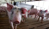 China Pork Shortage a Boon for U.S. Producers
