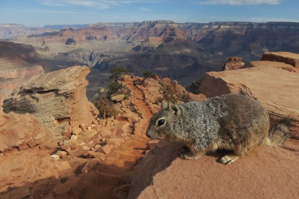 A squirrel stands at the South Keibab Trail at the Grand Canyon South Rim at Grand Canyon National Park, Ariz., on July 13, 2014. (Sean Gallup/Getty Images)