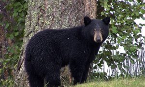 Canadian Man Fights Bear With Bare Fists—Lives to Tell the Tale