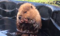 Abandoned Baby Beaver Enjoying Pool Time Wins Internet (Video)