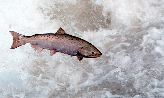 A Chinook salmon leaps through white water in the Rapid River in Idaho on on May 17, 2001, as it attempts to clear a migration barrier dam. (Bill Schaefer/Getty Images)