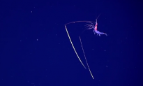 Deep Sea Explorers Encounter Shrimp With 'Chopstick' Antennae (Video)