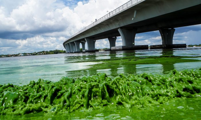 A file photo of algae along the Sewell's Point in Florida. (Richard Graulich/The Palm Beach Post via AP)