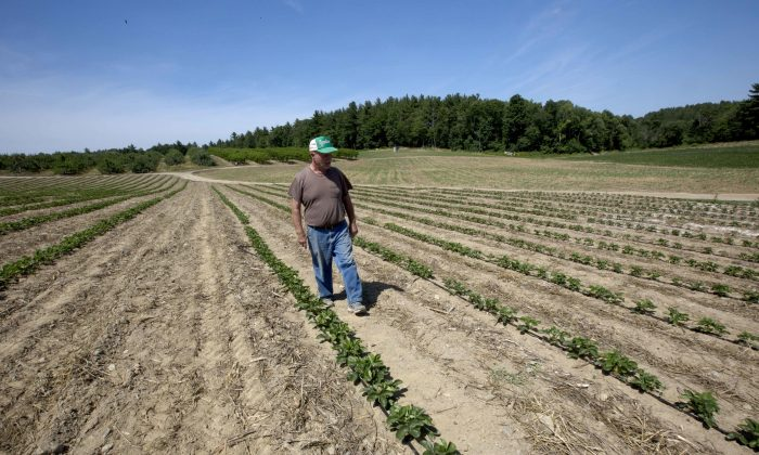 Farmer John Lavoie walks through a drying strawberry patch in Hollis, N.H., on July 21, 2016. Parts of the Northeast are in the grips of a drought. (AP Photo/Jim Cole)