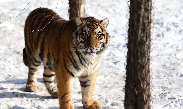 A Siberian tiger stands in its enclosure at the Siberian Tiger Park in Harbin, China, on Jan. 6, 2014. (Lintao Zhang/Getty Images)