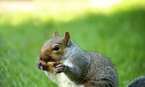 Gnawing Squirrels Are Culprits at Many Crime Scenes