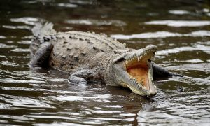 Australian Farmer Says Surgical Plate Found in Belly of 1,500-Pound Crocodile