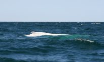 Migaloo the Rare White Whale Is Spotted in Australia