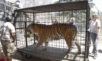 Lions, Tigers Returned to Sanctuary Threatened by Wildfire