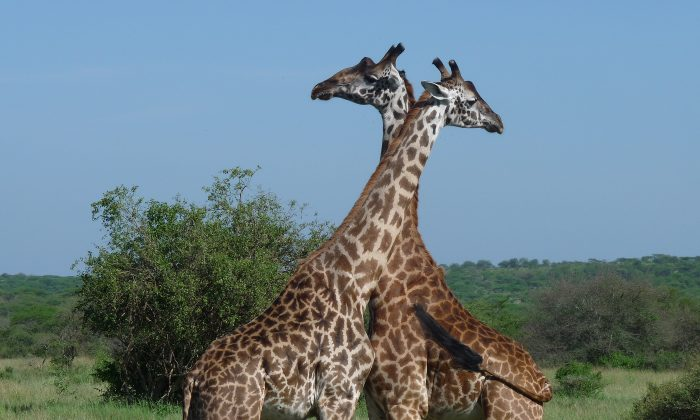 Giraffes on the Serengeti. (Barbara Angelakis)