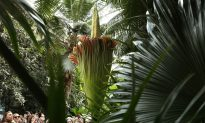 Corpse Flowers Strangely Bloom at Same Time: Coincidence or Omen?