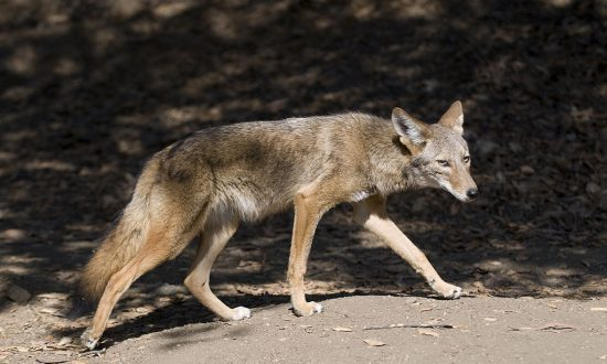 Suburban LA Park Closed After 3 Coyote Attacks on Humans