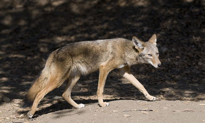A coyote is spotted in Griffith Park, Los Angeles, California. Grant Rea Park in Montebello has been temporarily closed after three coyote attacks on humans recently occurred. (Rich Reid/Getty Images)