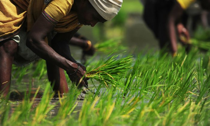 Indian laborers plant rice paddy saplings at a field in Vaiyavur village near Chennai on April 20, 2016. Waste from the milling of white rice is the latest superfood to hit the U.S. market. (ARUN SANKAR/AFP/Getty Images)