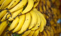 Fungi Could Wipe out Bananas in 5 to 10 Years