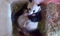 Giant Panda Surprises Zoo With Twins After Zookeeper Finds Another Cub