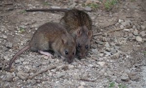 NYC Is Winning Some Battles Against Rats, but War Far From Over
