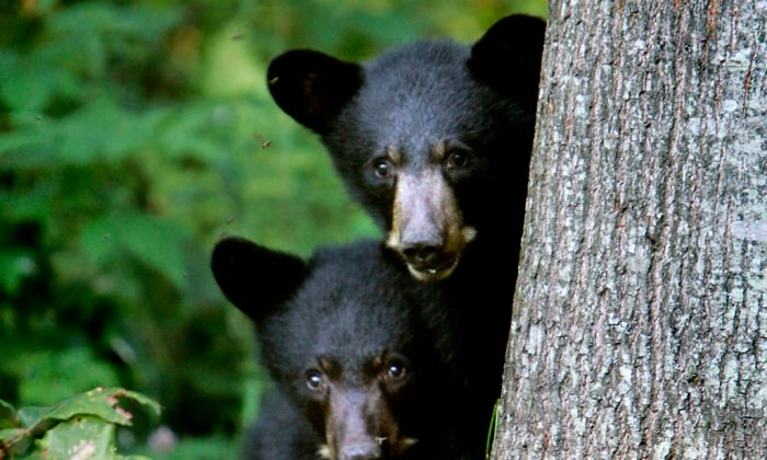 Black bear cubs are seen in Lyme, N.H., on Aug. 1, 2007. (AP Photo/Cheryl Senter)