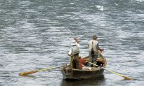 Wild Pacific Salmon Face an Upstream Battle for Survival