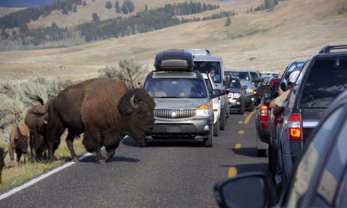 A large bison blocks traffic in the Lamar Valley of Yellowstone National Park as tourists take photos of the animal on Aug. 3, 2016. (Matthew Brown/AP)