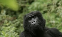 Largest Gorillas Now Critically Endangered, Poaching and Islamic Terrorists Hurt Conservation Efforts