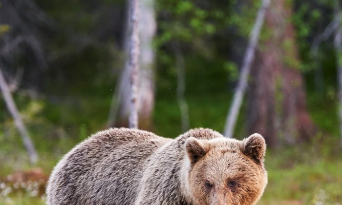 Mother bear protecting her cubs (ArCaLu/Shutterstock)