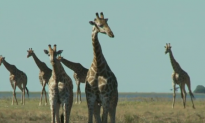 Study Finds There are Four Kinds of Giraffes, Not Just One (Video)