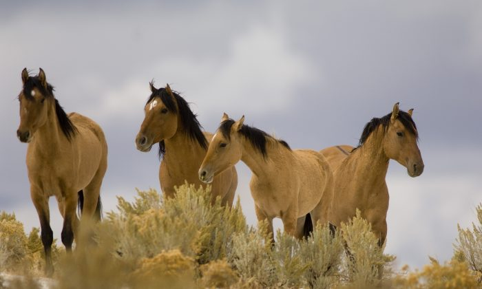 Wild mustangs from the Kiger Management Area near Diamond, Ore., are shown on Oct. 17, 2007. (Jamie Francis/The Oregonian via AP)