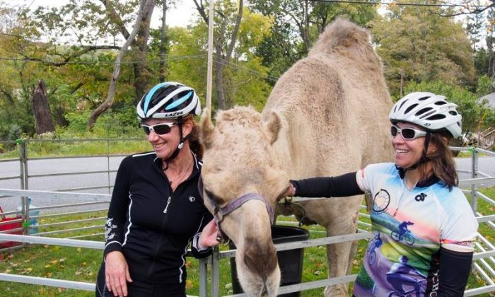 """Cyclists stop to see the camels at the annual Orange County Country Roads Fall Foliage Bike Tour, the """"ride with the camels"""" hosted by the Orange County Bicycle Club. Register at www.active.com. (courtesy Catholic Charities Community Services of Orange and Sullivan)"""