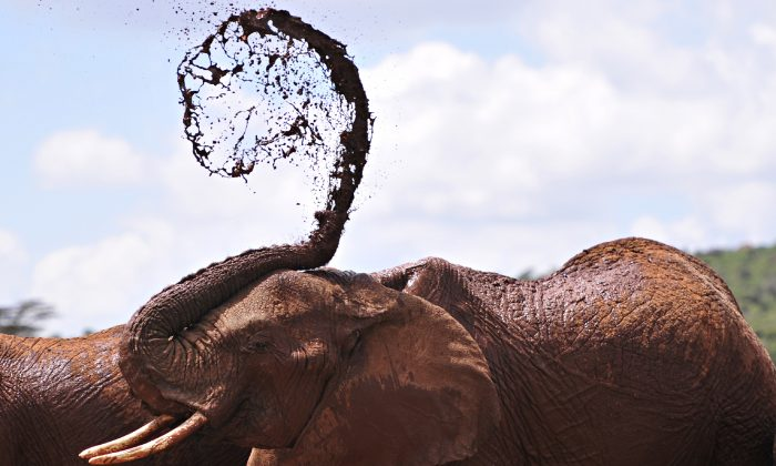 An African elephants throws mud onto himself at the Mpala Research Center and Wildlife Foundation, in Laikipia District, Kenya, on Jan. 31, 2016. (SIMON MAINA/AFP/Getty Images)